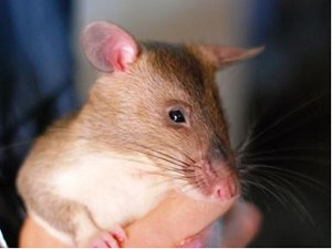 R.A.T.S. Research May Teach Rodents to Detect Explosives
